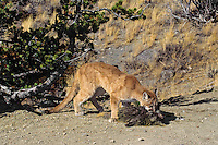 Mountain Lion or cougar (Puma concolor)--preying on porcupine, Western U.S.