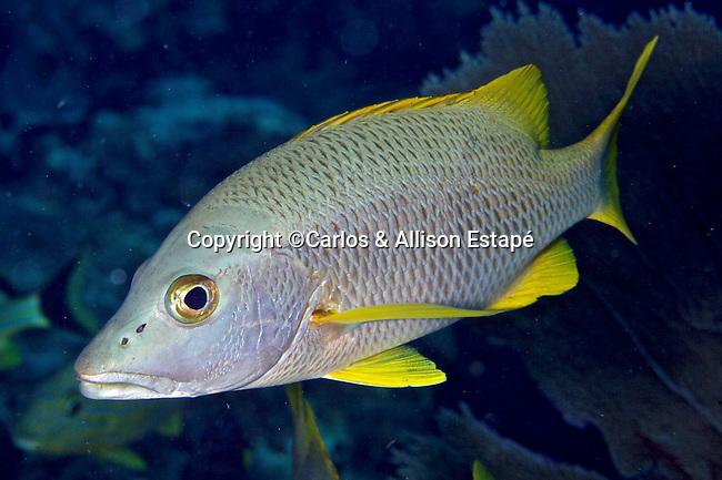 Lutjanus apodus, schoolmaster, Florida Keys