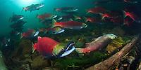 Sockeye Salmon ( Oncorhynchus nerka) spawn and die in the Adams River, British Columbia, Canada.