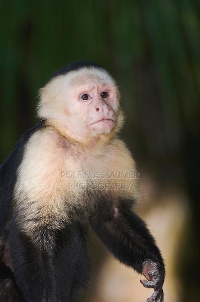 White-faced Capuchin, Cebus capucinus, adult, Manuel Antonio National Park, Central Pacific Coast, Costa Rica, Central America