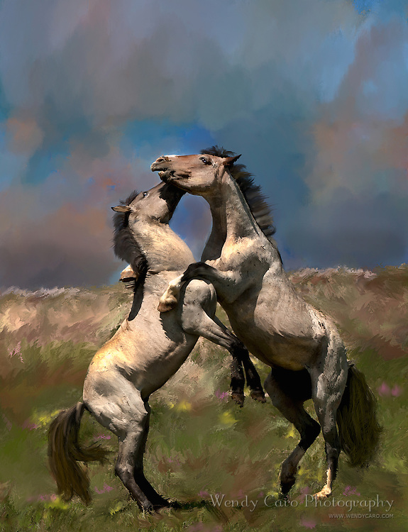Wild Horses of the Pryor Mountains, bachelors engaging in mock battle