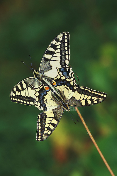 Old World Swallowtail (Papilio machaon), pair mating, Switzerland