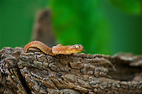 489000025 a hatchling captive variable bush viper atheris squamigera sits coiled on a large tree limb species is native to the democratic republic of the congo