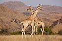 Namibia;  Namib Desert, Skeleton Coast,  giraffes (giraffa camelopardalis)