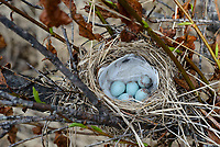 Common Redpoll (Carduelis flammea) nest and eggs. Yukon Delta National Wildlife Refuge, Alaska. June.