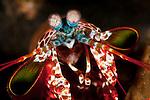Peacock mantis shrimp(Odontodactylus scyllarus)