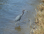 A little blue heron hunting along a shoreline.