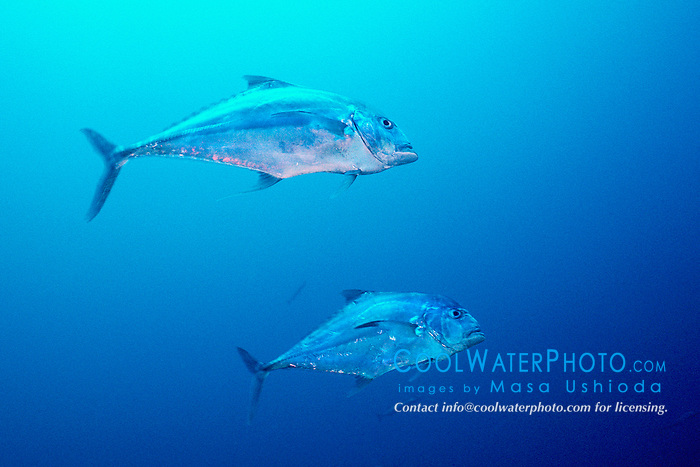African pompano, adults, .Alectis ciliaris, .USCG Duane wreck, Key Largo, Florida .Keys National Marine Sanctuary (Atlantic)