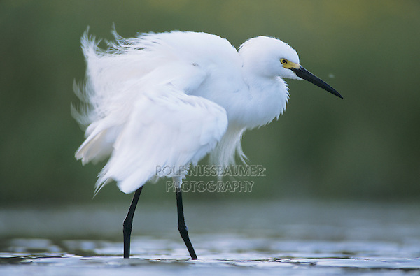 Snowy Egret, Egretta thula,adult preening, Lake Corpus Christi, Texas, USA, May 2003