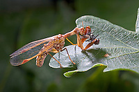 Fanghaft, Steirische Fanghaft, mit Beute, Mantispa styriaca, syn. Poda pagana, syn. Mantispa pagana, Fanghafte, Mantispidae, mantidfly, mantis fly, mantispid, mantid lacewing, mantis-fly, mantis flies, mantidflies, mantispids, mantid lacewings or mantis-flies, Neuroptera, Planipennia, Mantispe de Styrie