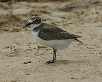 Adult non-breeding Wilson's plover