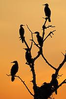 Great Cormorant, Phalacrocorax carbo, Lake Kerkini, Macedonia, Greece