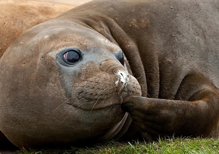 Southern elephant seal (Mirounga leonina), scratching its face, Grytviken, South Georgia