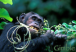 Gimble strips a vine eating the pith and cambium. (vine-Oncinotis tenuifolia)<br /> Male eastern chimpanzee (Pan troglodytes schweinfurthi)<br /> Gombe National Park, Tanzania , 2001<br /> (Highly Commended, Wildlife Photographer of the Year 2003)