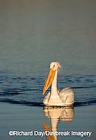 00671-009.10 American White Pelican (Pelecanus erythrorhynchos) Riverlands Environmental Demonstration Area,  MO