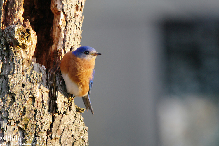 Chirpy eastern bluebirds (Sialia sialis) are plentiful in Great Falls Park in Virginia.