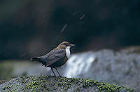 White-throated Dipper, Cinclus cinclus, adult, Oberaegeri, Switzerland, Europe