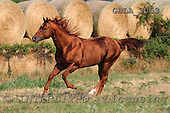 Bob, ANIMALS, horses, photos, GBLA3053,#a# Pferde, caballos