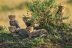 Cheetah cubs, Masai Mara National Reserve, Kenya