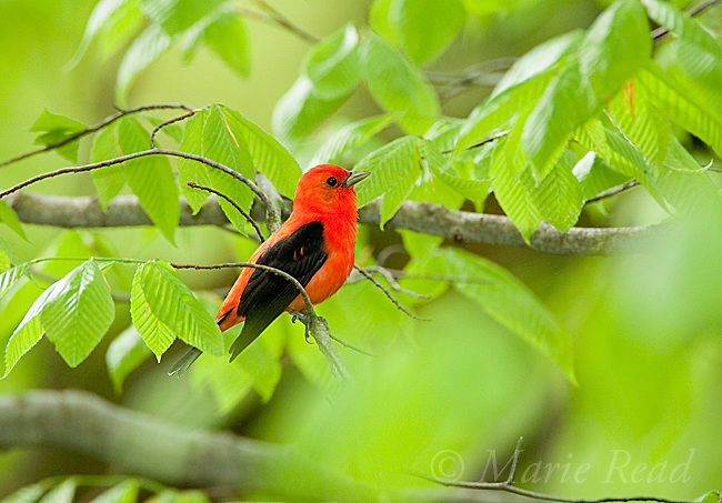 Scarlet Tanager (Piranga olivacea), male in breeding plumage perched amid beech leaves in spring, New York, USA