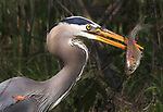 A great blue heron catches a bream in a small pond.