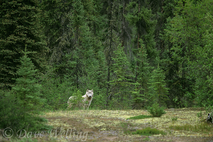 694922268 a wild gray wolf pup canis lupus stands on a taiga forest hillside in the northwest territories in canadan