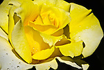 Yellow Rose, Portland Rose Garden, Oregon