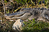 Alligator in The Everglades, Florida, United States of America