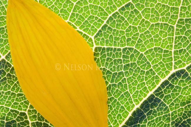 The petal of an Arrow Leaf Balsamroot flower on a leaf of the same plant showing detail of the veins of the leaf