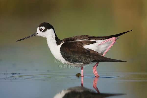 Black-necked Stilt (Himantopus mexicanus), adult walking, Sinton, Corpus Christi, Coastal Bend, Texas, USA