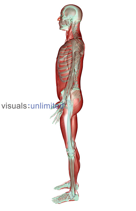 The Musculoskeletal System Visuals Unlimited