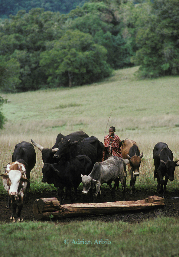A Maasai woman brings her cattle in from grazing to the  protection of the high stockades. Laikipia region. Kenya.