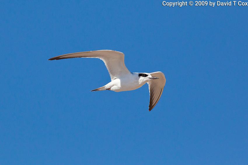 Forster's Tern, Guerrero Negro, Baja Sur, Mexico