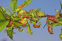 Kräuselkrankheit, Kräusel-Krankheit, Bläschenkrankheit, Taphrina deformans, Leaf curl