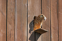 Common Kestrel (Falco tinnunculus), adult with mouse prey, Switzerland