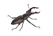 Stag Beetle - Lucanus cervus - male