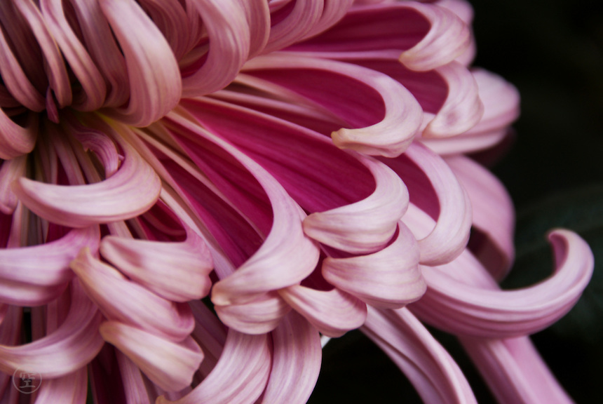Detail of an elaborate and perfect dark pink ogiku chrysanthemum.<br /> <br /> (title translation by David Landis Barnhill)
