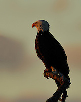 Bald Eagle from Llano, TX at sunrise.