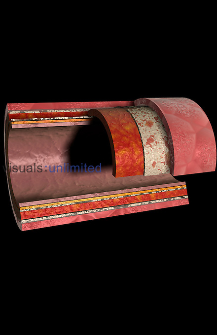 The structure of a artery. The layers of an elastic artery are shown. (The internal and external elastic membranes are included). Royalty Free