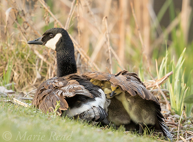 Canada Goose (Branta canadensis), adult brooding goslings under its wing, New York, USA