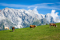 Oesterreich, Salzburger Land, Pinzgau, Dienten am Hochkoenig: Vieh auf der Buerglalm vorm Hochkoenig | Austria, Salzburger Land, region Pinzgau, Dienten am Hochkoenig: cattle at Buerglalm mountain pastures and Hochkoenig mountains