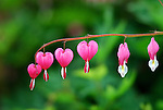 Unionville, CT - Bleeding Hearts