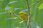 WARBLER; yellow warbler