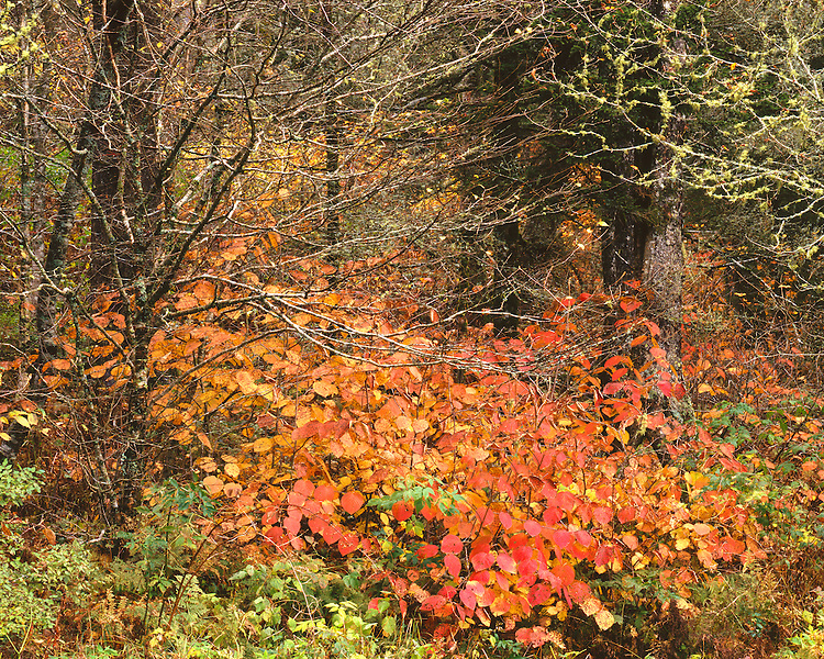 Dogwood tree in fall color in Newfound Gap; Great Smoky Mountains National Park, TN