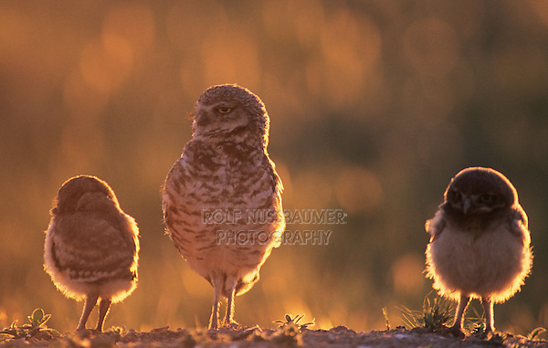 Burrowing Owl (Athene cunicularia), adult and young at burrow, USA