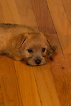Norfolk Terrier inside on a hardwood floor Shopping cart has 3 Tabs:<br />
