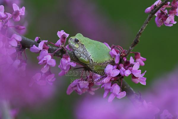 Grey Treefrog on blooming redbud