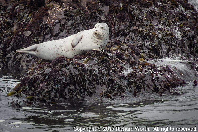 A Harbor seal lies resting, stretched out on seaweed-covered rocks several yards off shore at Bean Hollow State Beach south of San Francisco, California.