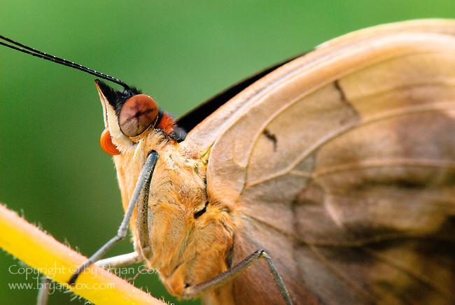 Grecian shoemaker butterfly (Catonephele numilia)