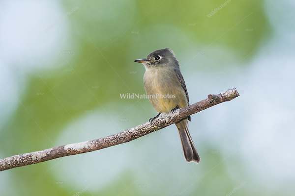 A Cuban Pewee (Contopus caribaeus), perched, watching for prey. Cuba.